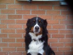 Aramis, chien Bouvier bernois