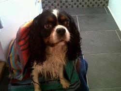 Aramis, chien Cavalier King Charles Spaniel