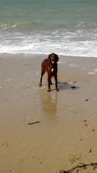 Aran, chien Setter irlandais