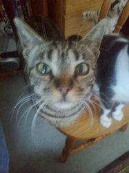 Archibald, chat Européen