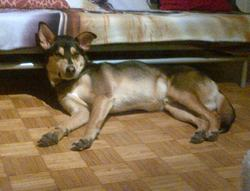 Arckos, chien