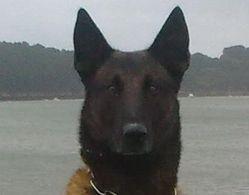 Arco, chien Berger belge