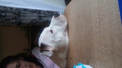 Arco, chien American Staffordshire Terrier