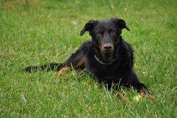Arès, chien Beauceron