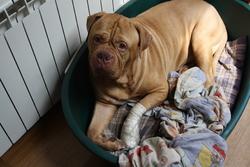 Arès, chien Dogue de Bordeaux