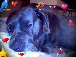 Arès, chien Cane Corso