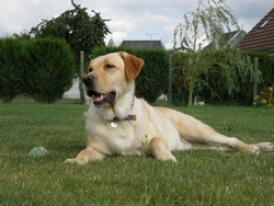 Ares, chien Labrador Retriever
