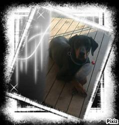 Ares, chien Dobermann