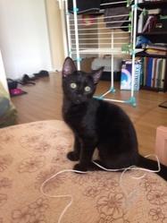 Arès, chat Burmese