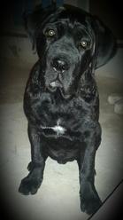 Ares, chien Cane Corso