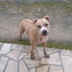 Arès, chien American Staffordshire Terrier
