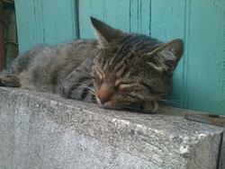 Arfagon , chat Européen