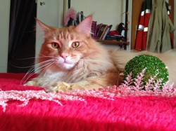 Argayll, chat Maine Coon