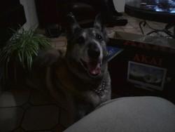 Argos, chien