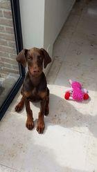 Aria, chien Dobermann