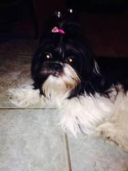 Aria, chien Shih Tzu