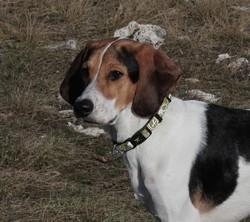 Aria, chien Anglo-Français de petite vénerie