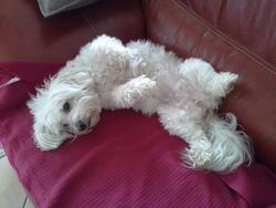 Ariane, chien Coton de Tuléar