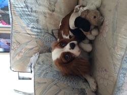 Ariane , chien Cavalier King Charles Spaniel