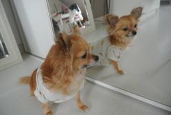 Ariane, chien Chihuahua