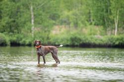 Ariat, chien Braque allemand à poil court