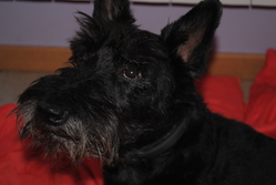 Aribo, chien Scottish Terrier