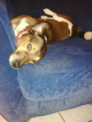 Haribo, chien Jack Russell Terrier