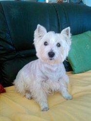 Arie, chien West Highland White Terrier