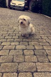 Arielle, chien Coton de Tuléar