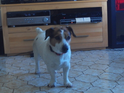 Arielle, chien Jack Russell Terrier