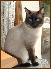 Arisa, chat Siamois