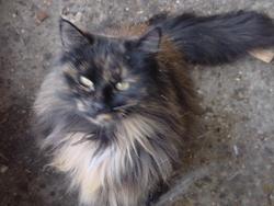 Arjunie, chat Angora turc