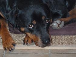 Arka, chien Rottweiler
