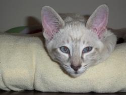 Arkana, chat Siamois