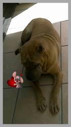 Arkane, chien Shar Pei