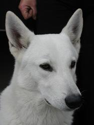 Arko, chien Berger blanc suisse