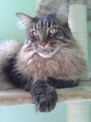Arkoonsas Du Zend Avesta, chat Maine Coon