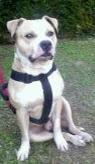 Arkos, chien American Staffordshire Terrier