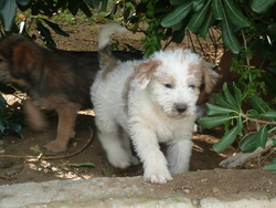 Arlequin, chien Fox-Terrier