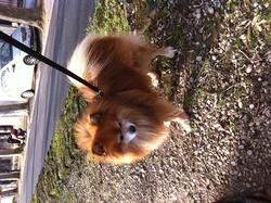Armani, chien Spitz allemand