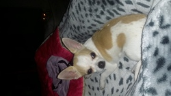 Armani, chien Chihuahua