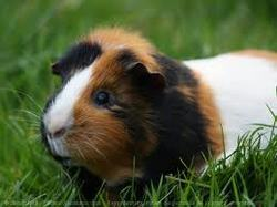 Armonie, rongeur Cochon d'Inde