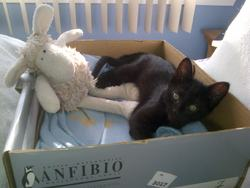 Arnaud, chat Siamois