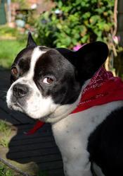 Arnold, chien Bouledogue français