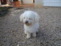 Arry, chien Coton de Tuléar