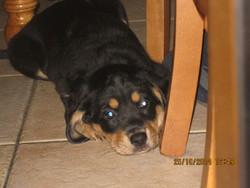 Artemis, chien Beauceron