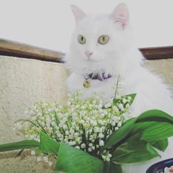 Artémis, chat Angora turc