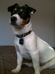 Artemis, chien Jack Russell Terrier