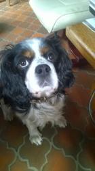 Arthur, chien Cavalier King Charles Spaniel