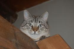 Arthur, chat Européen